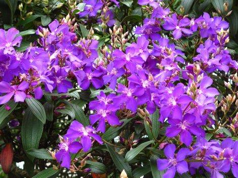 Quaresmeira ou flor-de-quaresma